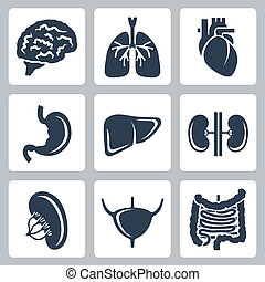 vecteur, ensemble, organes, interne, icônes