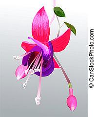 vecteur, fuchsia, fleur