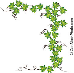 vecteur, illustration, ivy., vert