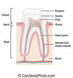vecteur, isolé, dent, anatomie, fond, humain, blanc