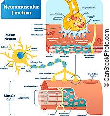 vecteur, jonction, neuromuscular, illustration, cellule, étiqueté, infographic, scheme.