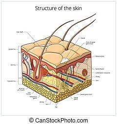 vecteur, structure, illustration, peau