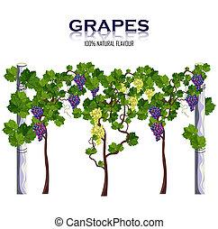 vector., moissons, vigne, isolé, raisins, croissant, blanc