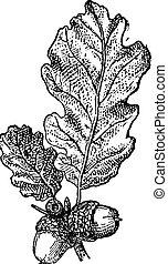 vendange, écrou, feuilles chêne, gland, ou, engraving.