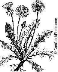 vendange, pissenlit, ou, taraxacum, engraving.