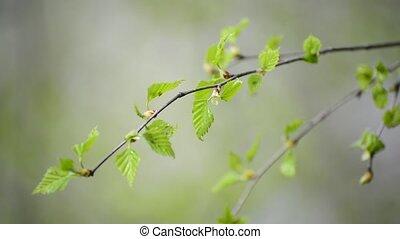 vent, arbre, feuilles, jeune, printemps, bouleau