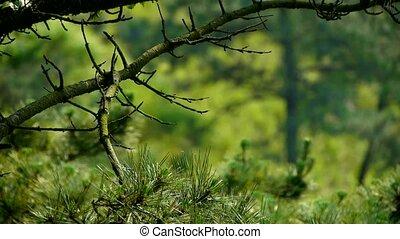 vent, arbres, buissons, pin, dense