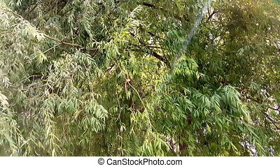 vent, leaves., branches, par, oscillation, rayons soleil, arbre, briller, saule