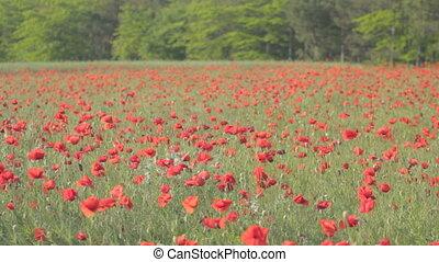 vent, mouvementde va-et-vient, coquelicots, rouges, fleur
