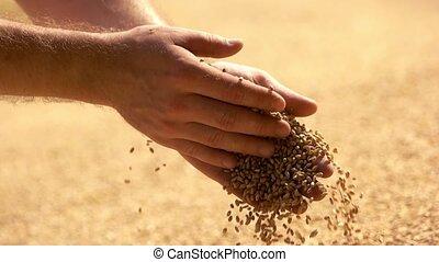 verser, agriculteurs, saisir, grains., main, mâle