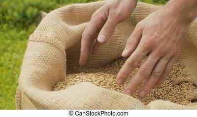 verser, grains, mâle, seigle, mains