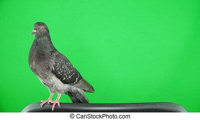 vert, écran, colombe