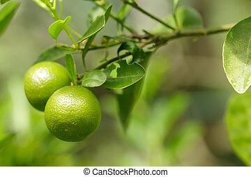 vert, deux, oranges