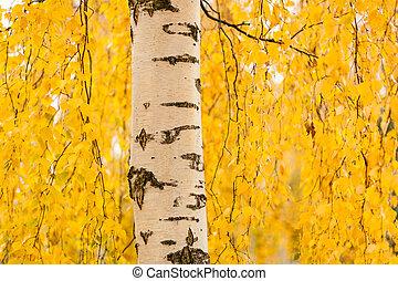 vibrant, feuilles, coffre, jaune, bouleau