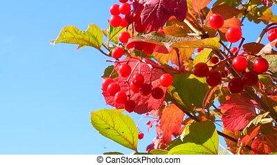 viburnum, fruits, feuilles, rouges, wind.