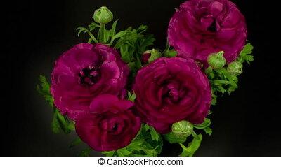 vidéo, arrière-plan violet, fleurir, fleurs, loopable, contre, noir