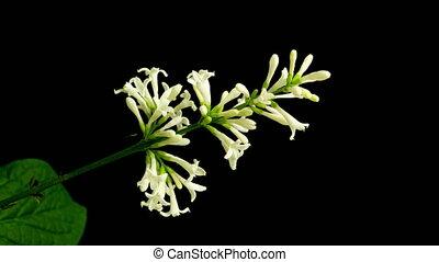 vidéo, défaillance temps, fleurir, brosse, arrière-plan noir, 4k, blanc, canal, lilas, alpha