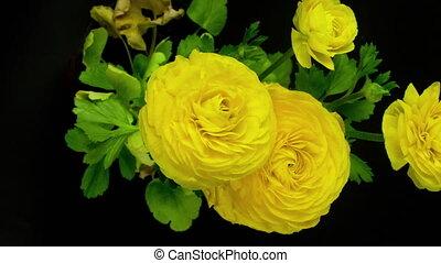 vidéo, fond jaune, fleurir, fleurs, loopable, contre, noir