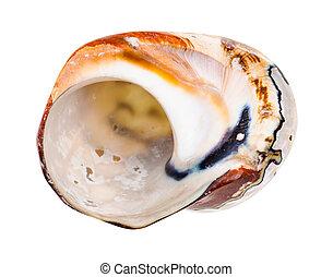 vide, mollusque, blanc, coquille, nautile, isolé