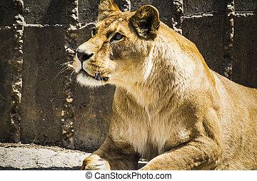 vie sauvage, dangereux, lionne, f, puissant, reposer, mammifère, withbrown
