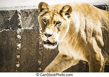 vie sauvage, fourrure, withbrown, lionne, puissant, féroce, reposer, mammifère