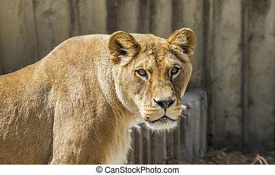 vie sauvage, fourrure, withbrown, lionne, puissant, reposer, mère, mammifère