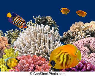 vie sous-marine, hard-coral, egypte, mer, rouges, récif