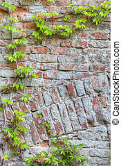 vieux, mur, encadré, vert, brique, lierre