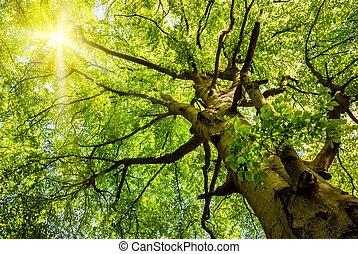 vieux, soleil, arbre, par, hêtre, briller