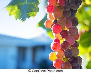 vigne, mûre, raisins