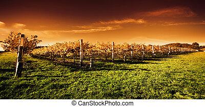 vignoble, coucher soleil or