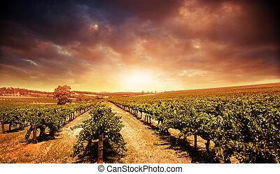 vignoble, coucher soleil