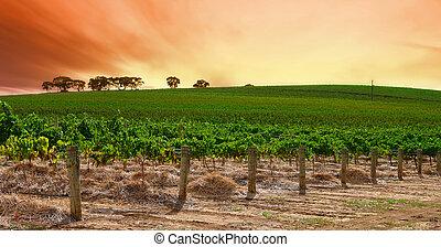 vignoble, rouler, coucher soleil