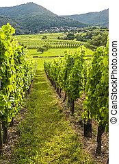 vignobles, (france), alsace