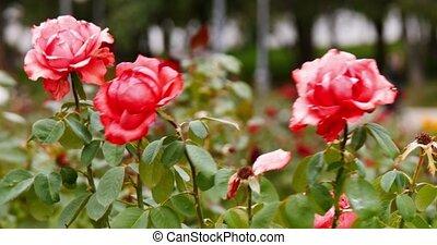 ville, jardin, parc, pink-red, sombre, roses