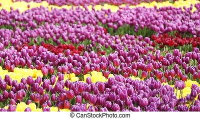 ville, rose, istanbul, tulipes, jaune, jardins, rouges