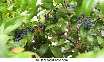 violet, buisson, fruits