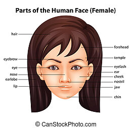 visage humain