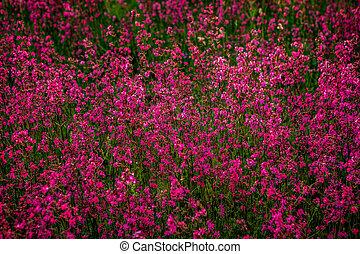 viscaria), moite, (lychnis, campion, fleurs