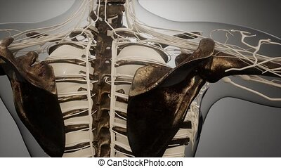 visible, corps, humain, os, transparent