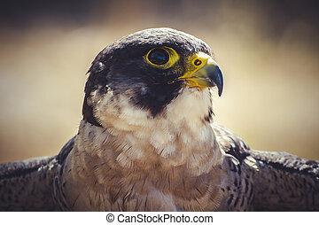 vitesse, peregrine, ailes, élevé, faucon, ouvert, oiseau