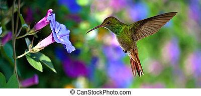 vol, pourpre, sur, colubris), (archilochus, fleurs, colibri
