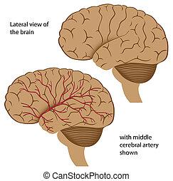 vue, cerveau, latéral
