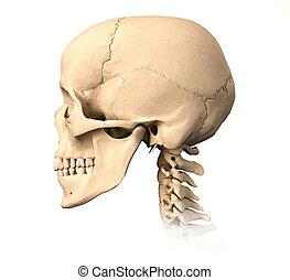 vue., crâne, côté, humain