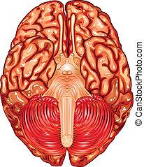 vue, dessous, cerveau, vecteur, humain