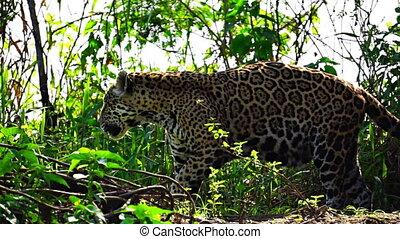 wetlands, jaguar, pantanal, marque, pulvérisation, territoire, sien
