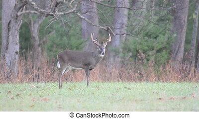 whitetail, dindes, mâle, sauvage