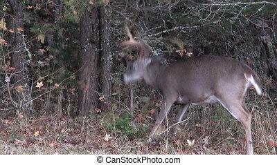 whitetail, mâle, cerf, ornière, comportement