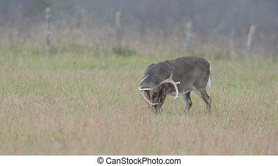 whitetail, mâle, cerf, pâturage
