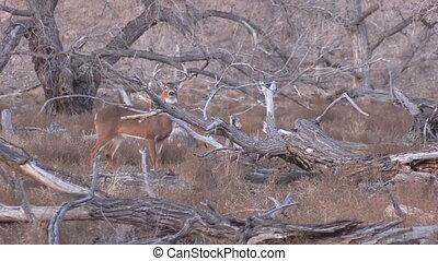 whitetail, mâle